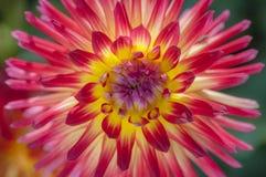 De levendige gele en rode macro van de dahliabloem Royalty-vrije Stock Afbeeldingen