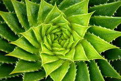 De levendige Groene Spiraalvormige Installatie van het Aloë stock afbeeldingen
