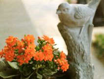 De levendige Oranje Kleurenbloemen van Vlammende Katy Succulent Plants met vertroebelden Weinig Vogelbeeldhouwwerk op Achtergrond stock foto's