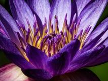 De levensstijl van de lotusbloembloem zal natuurlijk wereldwijd dieren Royalty-vrije Stock Foto