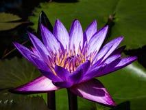 De levensstijl van de lotusbloembloem zal natuurlijk wereldwijd dieren Stock Afbeelding