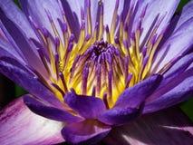De levensstijl van de lotusbloembloem zal natuurlijk wereldwijd dieren Royalty-vrije Stock Foto's