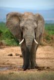 De levensstijl van de olifant in Zuid-Afrika Stock Foto