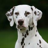 De lever bevlekte Dalmatisch wijfje Royalty-vrije Stock Foto's