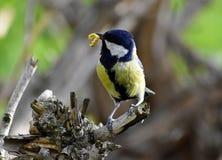 De leveringsvoer van het vogelkuiken aan de kuikens in het nest royalty-vrije stock foto