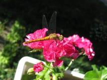 De libel zit op een bloeiende geraniumbloemen Royalty-vrije Stock Foto