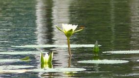 De libel zit op wit lilly bloeit in de vijver stock video
