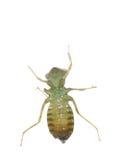 De libellarve van het insect Royalty-vrije Stock Afbeelding