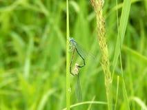 De libellen vormden een hartvorm Stock Foto's
