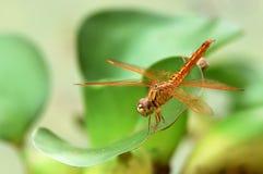 De libellen zijn geel met gele vleugels royalty-vrije stock afbeeldingen