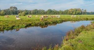De lichtbruine gekleurde koeien worden weerspiegeld in het water Royalty-vrije Stock Foto