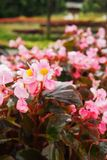 De lichtrose bloemen met een daling van water in een bloem tuinieren, op een kleurrijke achtergrond van de bloemtuin royalty-vrije stock foto's