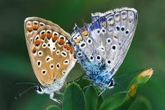 De liefde van de vlinder Stock Foto
