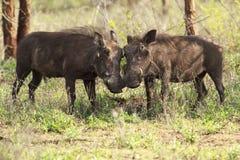 De liefde van het wrattenzwijn Stock Afbeeldingen