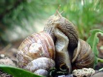 De liefde van slakken Stock Foto's