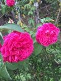 De liefde zoals een bloem bloeit op tijd Stock Afbeeldingen