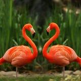 De liefdebespreking van de flamingo stock foto