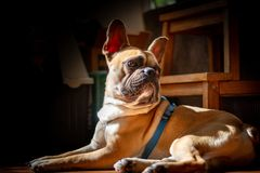 DE LIER, NETHERLANDS - AUGUST 11 2018: Fawn French Bulldog lying. In the sun on a lazy Sunday royalty free stock images