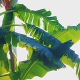 De lijst van de banaanboom Royalty-vrije Stock Fotografie
