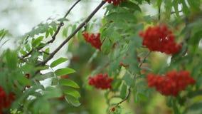 De lijsterbes groeit op een boom stock videobeelden