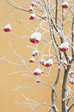 De lijsterbes van de winter Stock Afbeelding