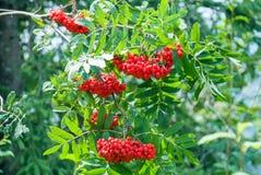 De lijsterbessenbessen, Sorbus-aucuparia, boom riepen ook lijsterbes en lijsterbes stock afbeeldingen