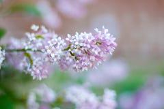 De Lilac bloemen close-up Royalty-vrije Stock Foto