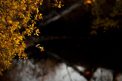 De lilla gula sidorna av ett träd på en slapp bakgrund Arkivbild