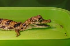 De lilla krokodilgröngölingleendena i vattnet Stående - closeup arkivfoto
