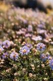 De lilla kronbladen av våren royaltyfri foto