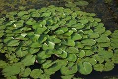De lilla lotusblommatjänstledigheterna Royaltyfri Bild