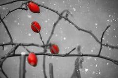 De lilla och så härliga lösa rosorna under snön rider ut Arkivfoto