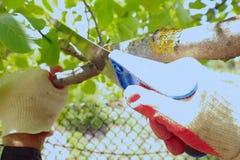 De lilla trädgårdsmästarearbetshandskarna såg sågar av filialen av ett fruktträd i trädgården arkivfoton
