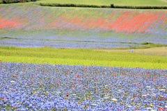 De linze die in Castelluccio Di Norcia bloeien Duizenden kleuren Stock Foto's