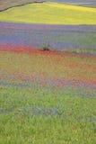 De linze die in Castelluccio Di Norcia bloeien Duizenden kleuren Royalty-vrije Stock Afbeelding