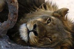 De Lion Dad cierre magnífico para arriba Imagen de archivo libre de regalías