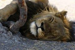 De Lion Dad cierre magnífico para arriba Foto de archivo