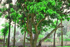 De litchibomen kweken hoogtepunt van groene bladeren Close-uplitchi op boom in de aanplanting Bos van litchi op een grote boom stock foto's