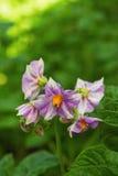 De ljusa lila blommorna av potatisen på en grön bakgrund i en solig dag Arkivfoton
