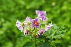 De ljusa lila blommorna av potatisen på en grön bakgrund i en solig dag Royaltyfri Fotografi