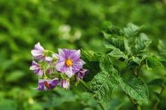 De ljusa lila blommorna av potatisen på en grön bakgrund i en solig dag Royaltyfri Bild
