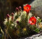 De ljusa röda kaktusblommorna av våren arkivfoto