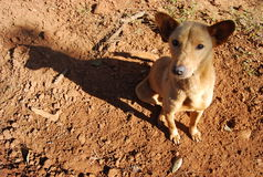 De lokale hond van Thailand en van Zuidoost-Azië Stock Afbeeldingen