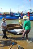 De lokale vissers vervoeren tonijnvissen van hun schepen aan de brancard en brengen het aan het het testen huis in seapor van Tuy Royalty-vrije Stock Fotografie