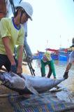 De lokale vissers vervoeren tonijnvissen van hun schepen aan de brancard en brengen het aan het het testen huis in seapor van Tuy Stock Foto