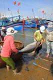 De lokale vissers vervoeren tonijnvissen van hun schepen aan de brancard en brengen het aan het het testen huis in seapor van Tuy Stock Afbeeldingen