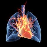 De longen en het hart Stock Afbeeldingen