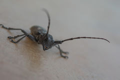 De longhornkever, Cerambycidae, macro Stock Afbeelding