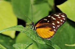 De longwing vlinder van de tijger (Heliconi hecale) Stock Fotografie