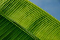 In de loop van de dag gefotografeerde banaanbladeren royalty-vrije stock foto